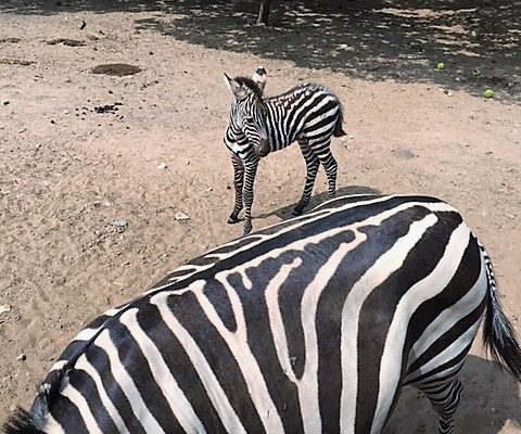 zebras at Sharkarosa